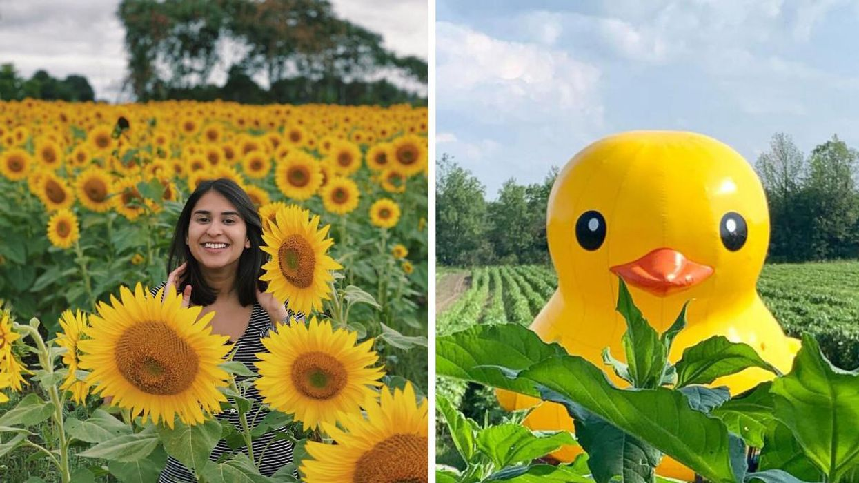 You Can Visit A Sunflower Field Near Toronto With A Giant Rubber Duck