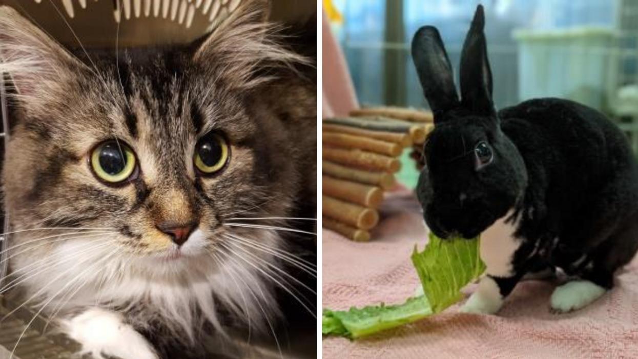 La SPCA de Montréal recrute pour héberger des animaux