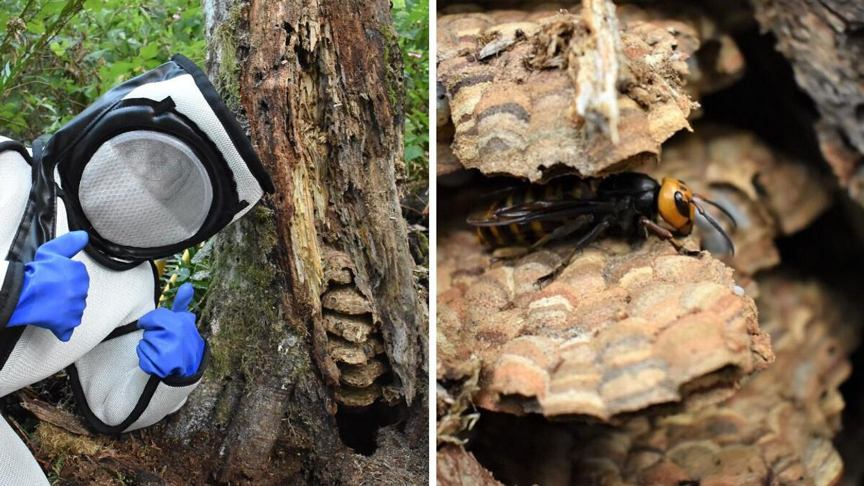 A Murder Hornet Nest Was Just Destroyed Near The BC Border