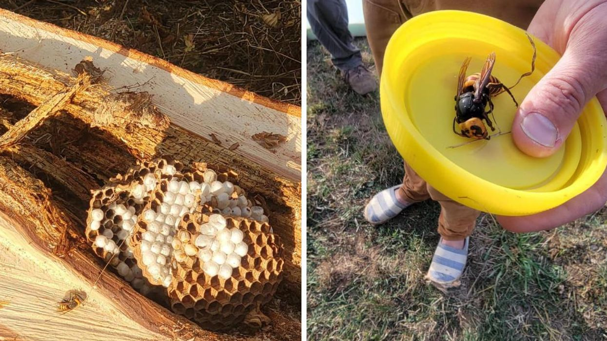 Murder Hornet Nests Keep Popping Up Near The BC Border & Seriously, Enough Already