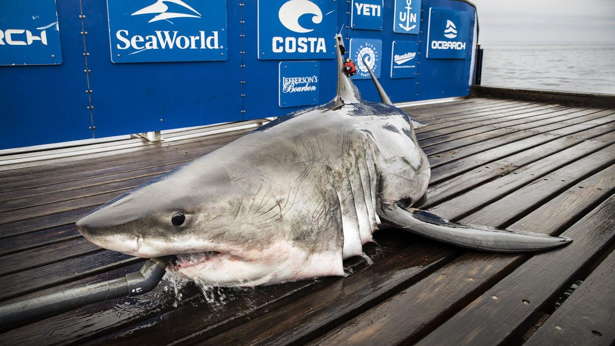 Great White Sharks Are Loving Nova Scotia Right Now & Some Of Them Are Massive