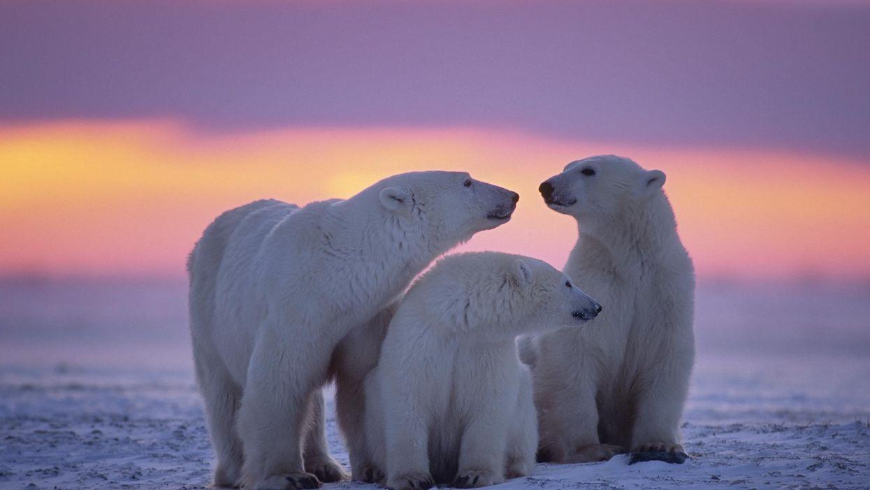 Polar Bear Inbreeding Is At 'Alarming' Levels & It's Increasing Their Risk Of Extinction