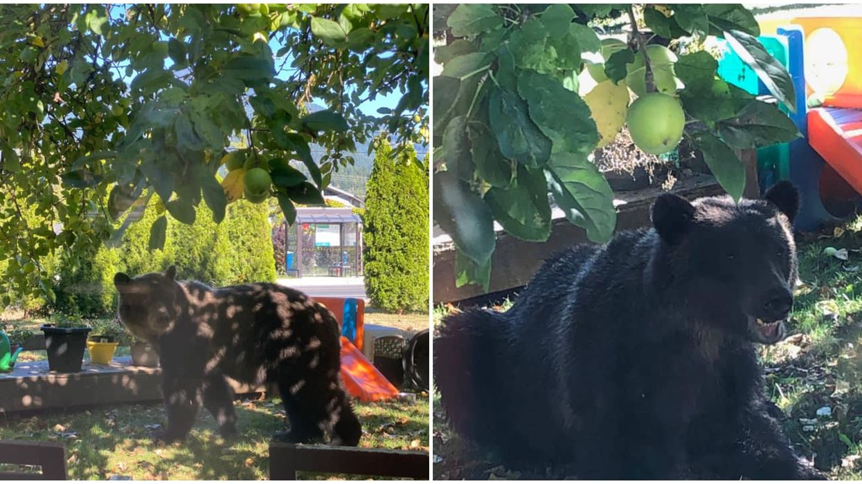 Grizzly Bear In Squamish Was Chilling In A Neighbourhood & Eating Fruit