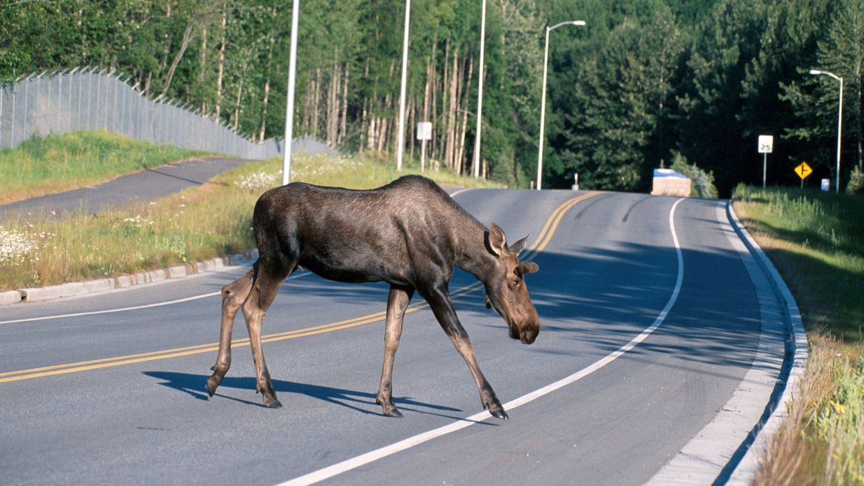 A Car In Newfoundland Burst Into Flames After Hitting A Moose Proving How Dangerous They Are (VIDEO)