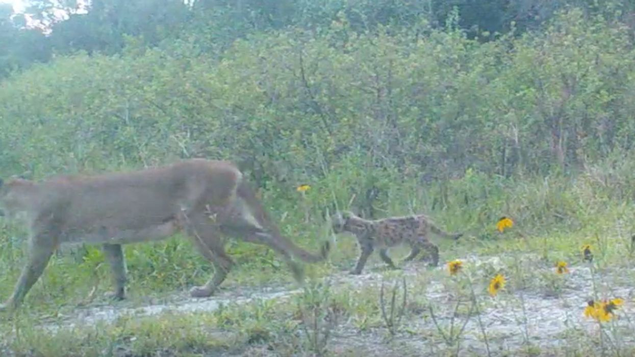 Super Adorable Rare Florida Panther Kittens Spotted In South Florida (VIDEO)