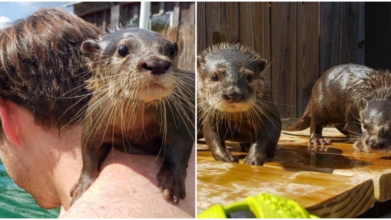 Animal Preserve In Louisiana Lets You Swim With Crazy Adorable Baby Otters