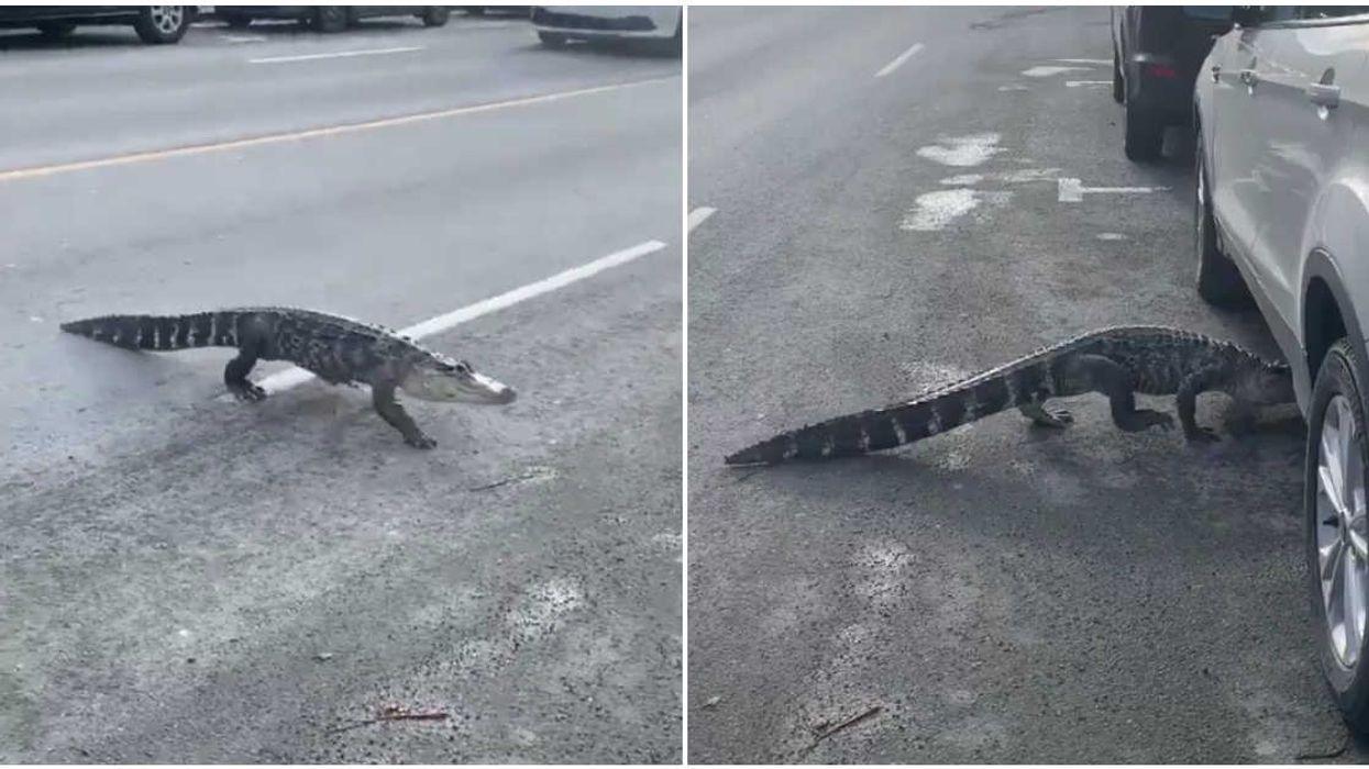Un alligator a fait une balade dans les rues de Montréal et les réactions sont tordantes