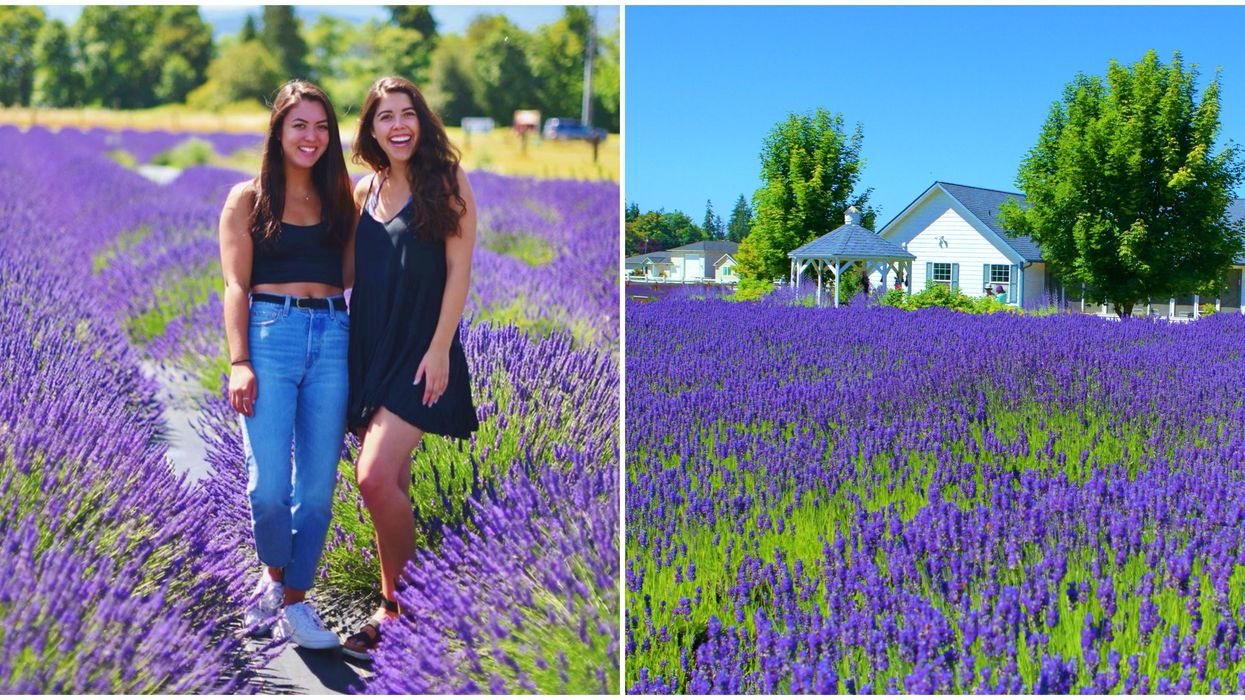 Sequim Lavender Festival In Washington Is Back This July & It's Free