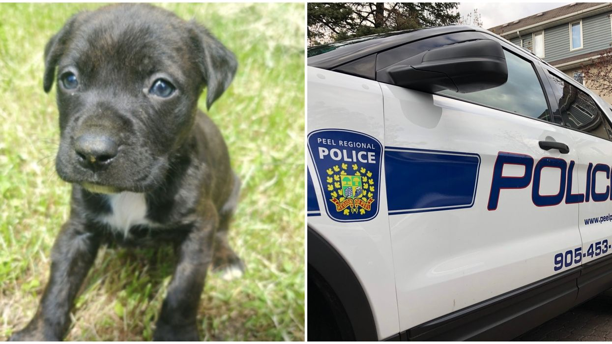 A Brampton Puppy Theft Ended In The Thieves Dragging A Man Along By Their Car