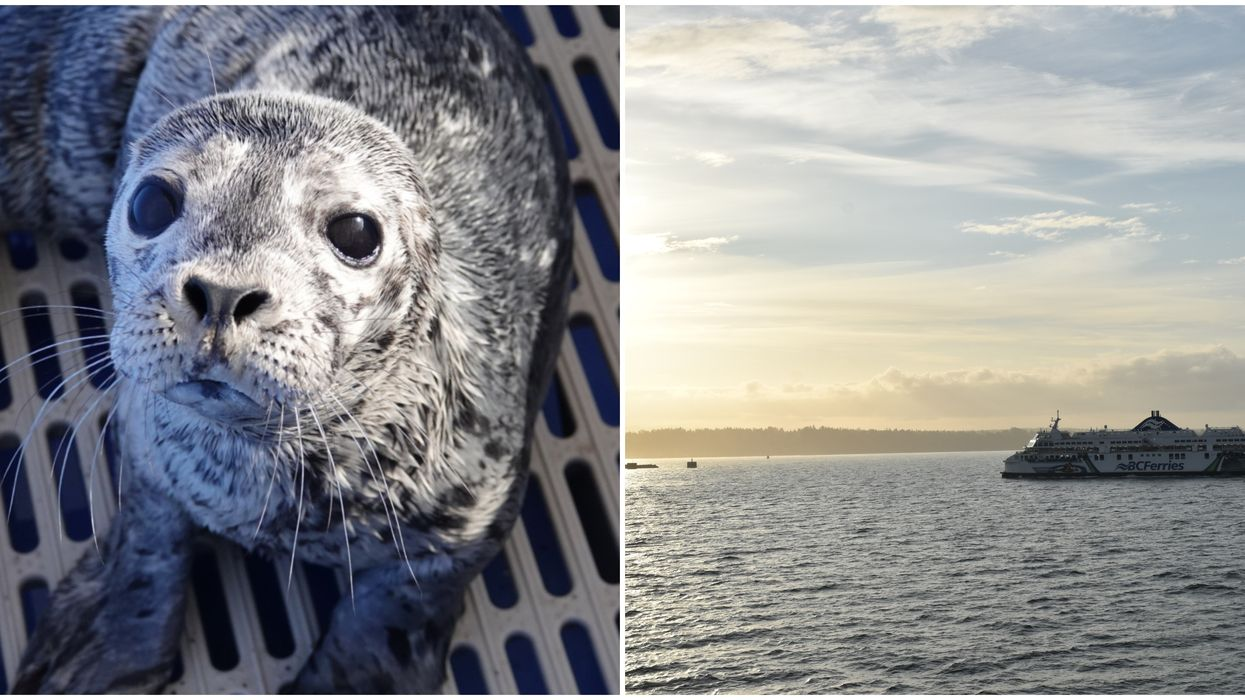 A Lost And Injured Seal Pup Just Got Rescued In BC & They Named Her Chantel