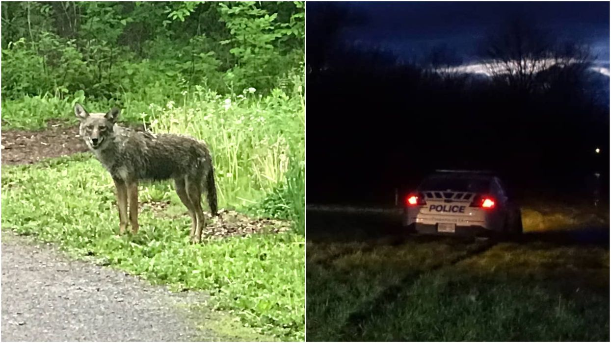 Coyotes Are Approaching Humans Again In Ottawa & Police Say They're 'Unpredictable'