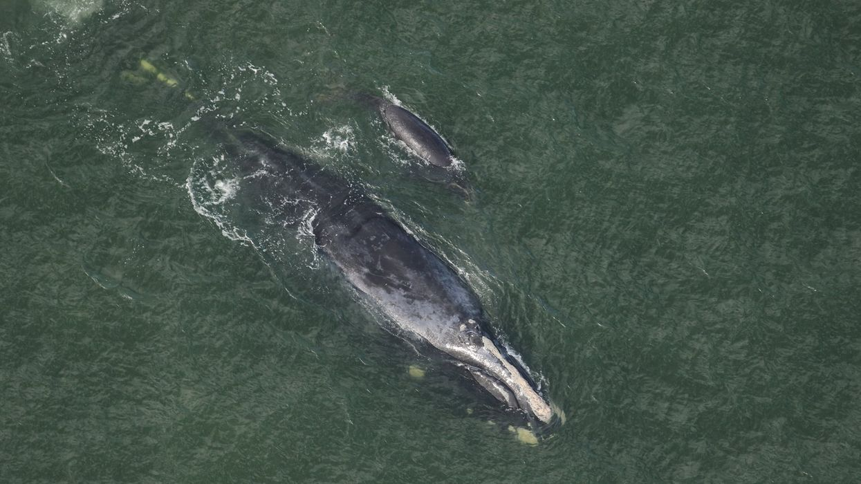 Endangered Whales Georgia North Atlantic Right Whales NOAA
