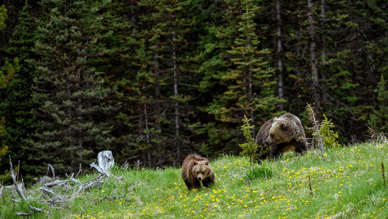 A Bear Encounter In Alberta Had A Man Airlifted From A Mountaintop