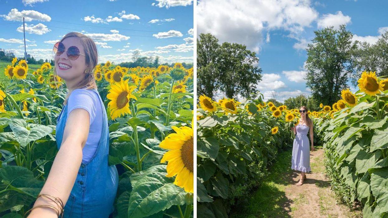6 Sunflower Fields Near Ottawa Where You Can Explore A Golden Paradise
