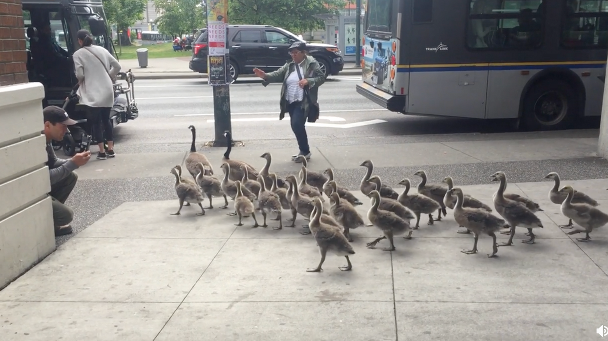 This Brave Vancouver Woman Was Seen Leading A Flock Of Geese Through The City And It's Super Badass (VIDEO)
