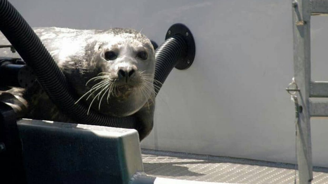 Watch This Clever Seal In B.C. Literally Climb Aboard A Passing Boat To Avoid Being Eaten By Orcas (Photos)