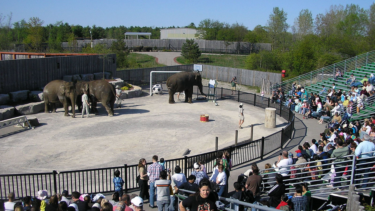Ontario African Lion Safari Trainer Attacked By An Elephant & Airlifted To Hospital For Injuries