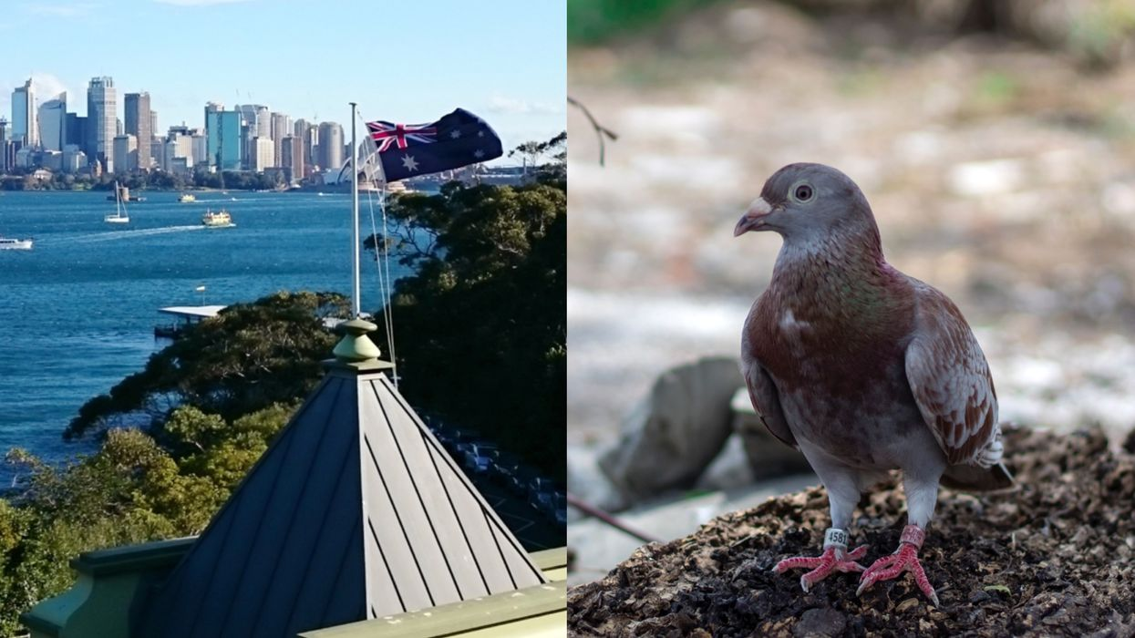 Racing Pigeon Who Went On A Global Adventure May Be Killed For Breaking Quarantine