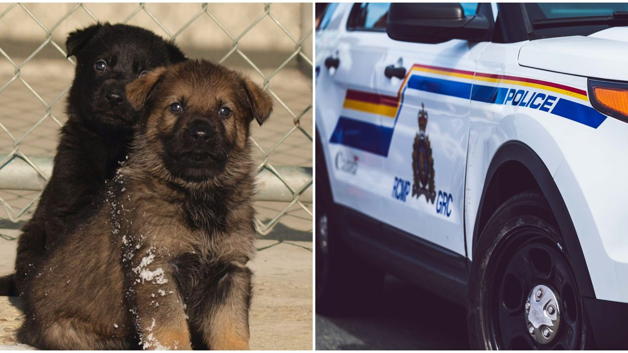 RCMP Puppies Are The Newest Recruits & They're So Cute