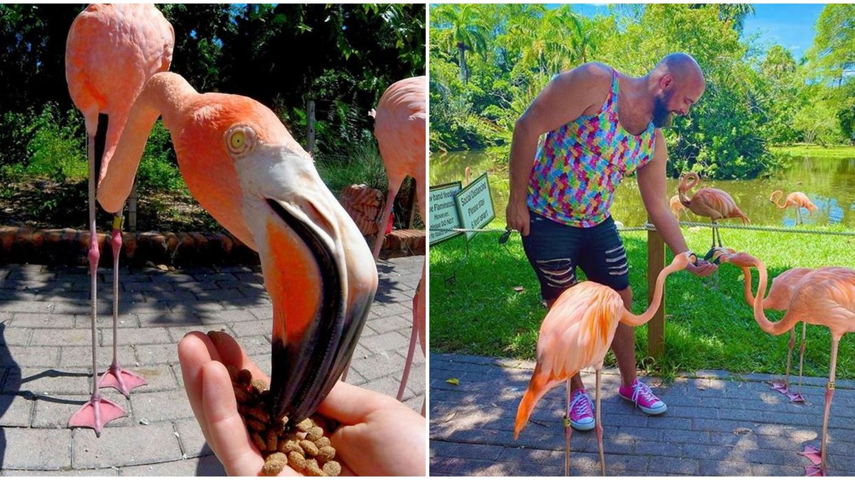 Sarasota Jungle Gardens Flamingos In Florida Roam Freely And You Can Hang With Them