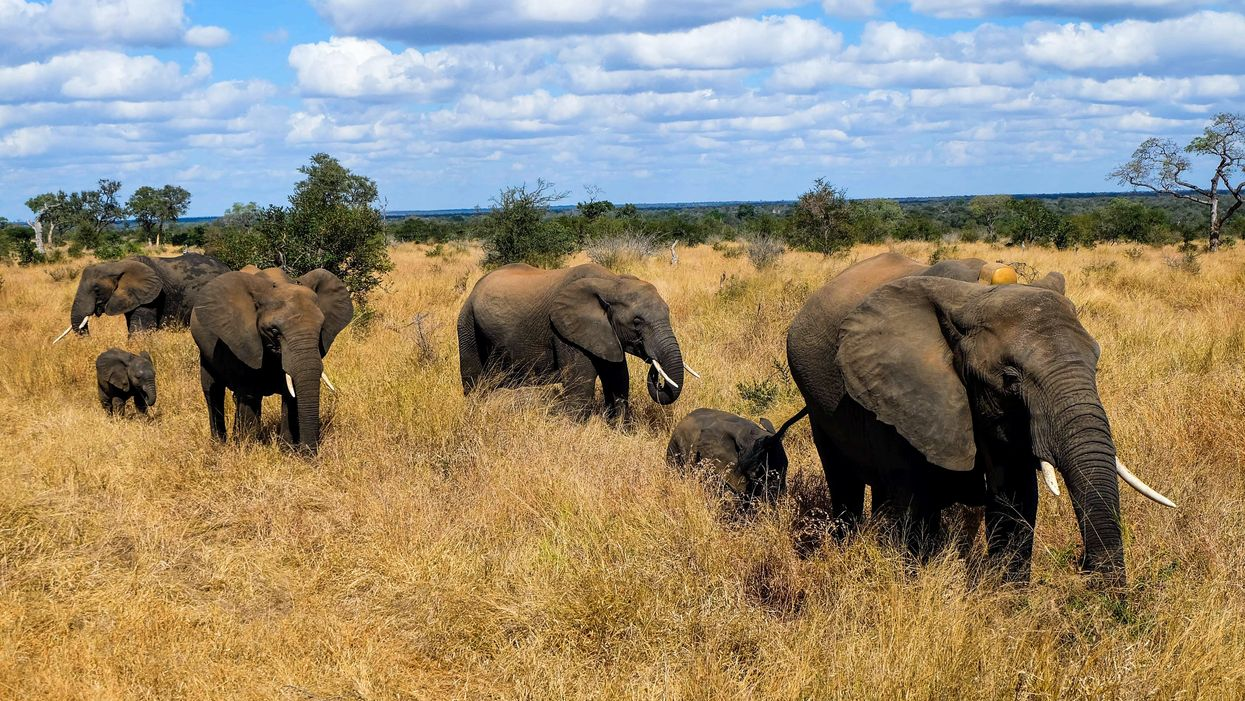 Suspected Poacher Tramped By Elephants In South Africa Has Died