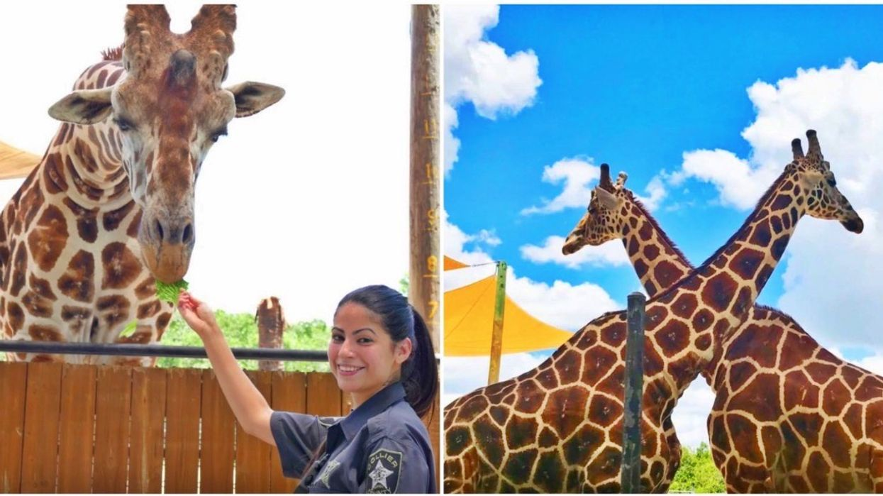 This South Florida Zoo Lets You Pet And Feed Giraffes