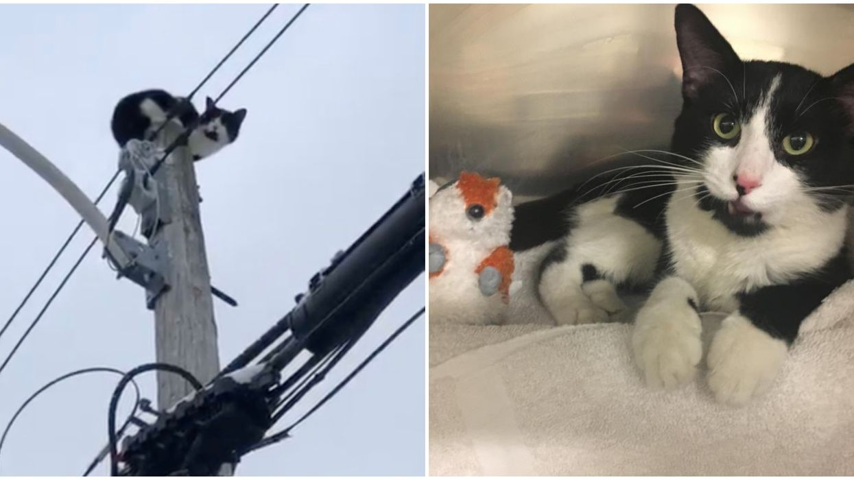 Toronto's Hydro Cat Could Actually Be Up For Adoption Soon