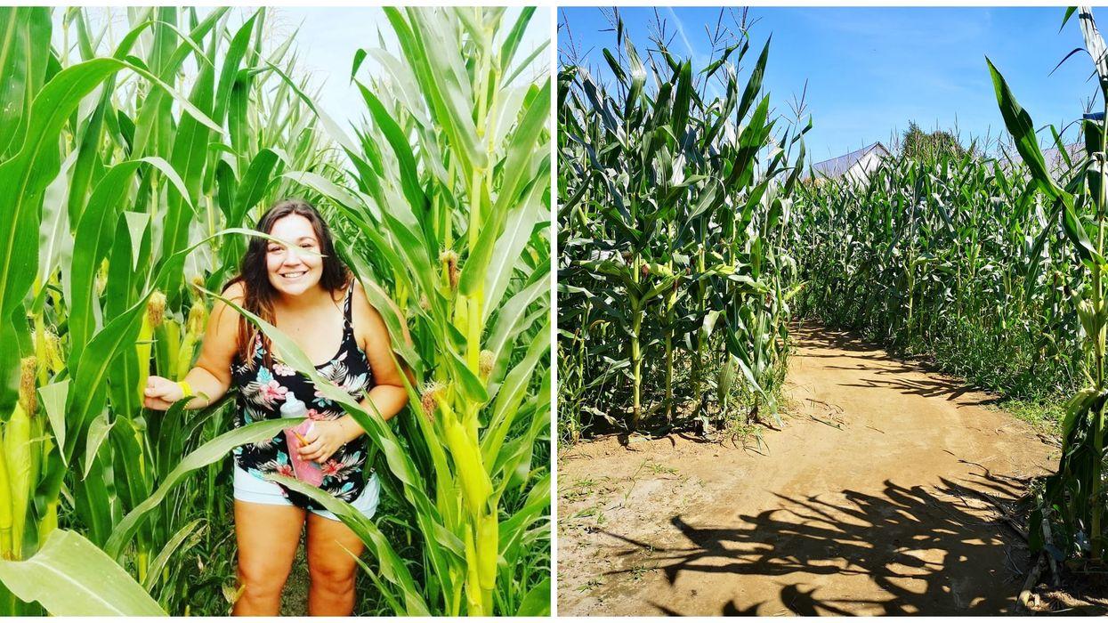 Un labyrinthe géant dans un champ de blé d'inde à Rawdon cet été
