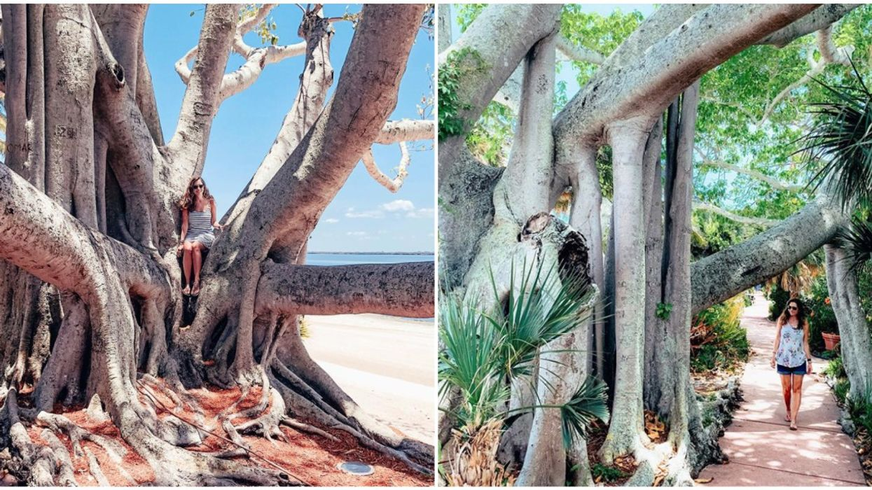 Useppa Island Grows Unique Trees Called Strangler Figs