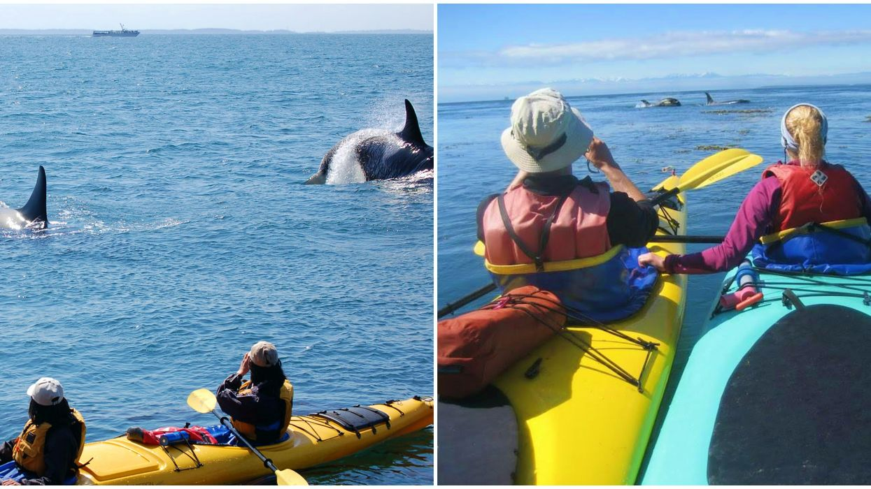 Whale Watching In The San Juan Islands Washington Includes Kayaking With Orcas