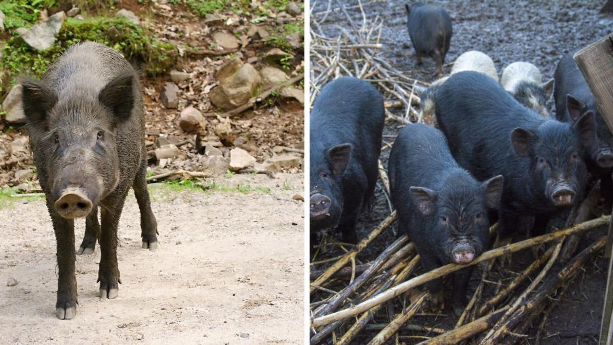 Wild Pigs Are Invading A Canadian National Park & It's Actually A Big Problem